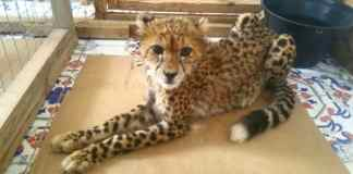 Cheetah Conservation Fund: Social Media's Role In Advertising Illegal Wildlife Trade, Including Cheetah Trafficking