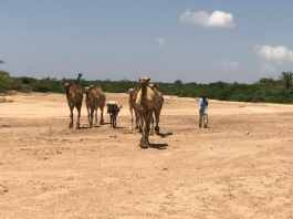 Where Camels Walk On Water