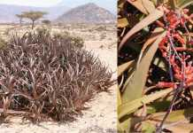"Aloe Sanguinalis ""Dacar Cas"": A New Species From Somaliland"
