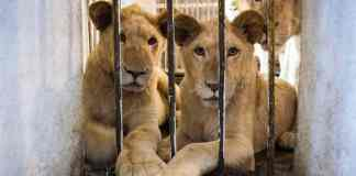 Arabic Speakers Needed In Online Fight Against Exotic Animal Sale