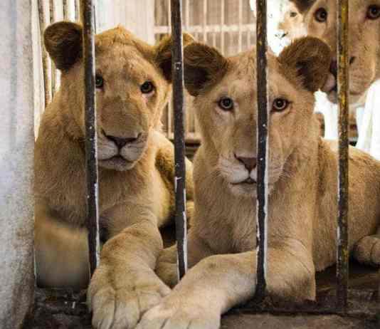 Arabic Speakers Needed In Online Fight Against Exotic Animal Sale