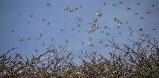 Like A Biblical Plague, Locusts Swarm East Africa, Laying Waste To Crops And Livelihoods