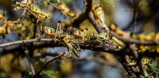 Somaliland And Somalia To Benefit From New UK Support To Tackle Locusts