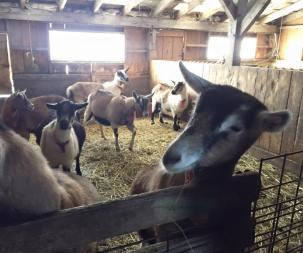 Lazy Lady Goats