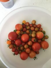 One day's harvest!