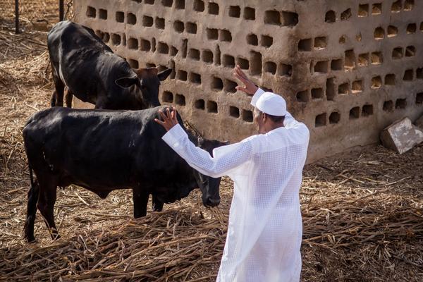 Buhari-and-cows
