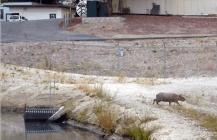Capybara in California