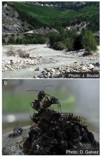 PhotosoffloodplainhabitatinValais,Switzerland(a) and incipient raft during self-assembly (b). (Credit: J. Boulat / D. Galvez / PLOS ONE) doi:10.1371/journal.pone.0089211.g001