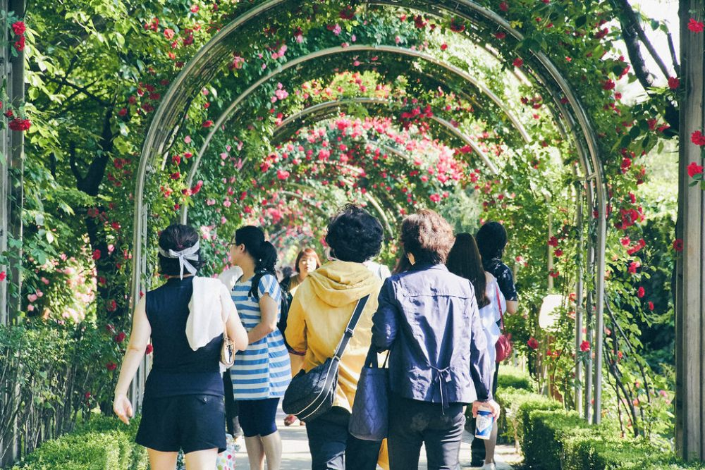 Travel Photographer | Jungnangcheon Stream's Rose Tunnel 2016 Seoul Rose Festival South Korea