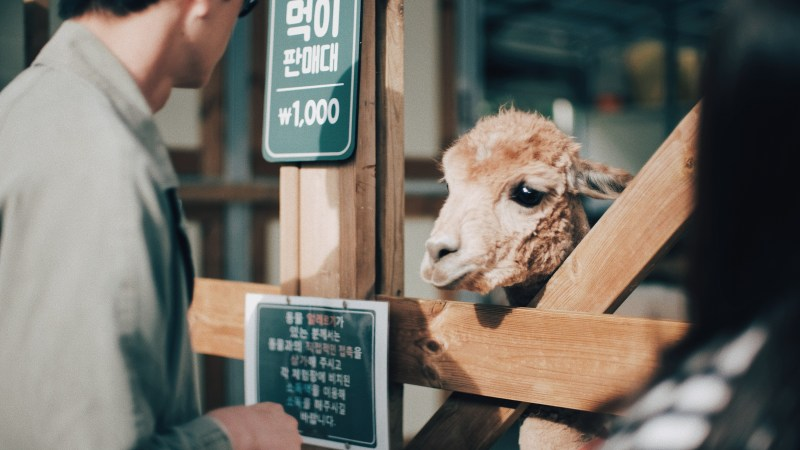 Hongcheon: Alpaca World (알파카 월드), South Korea