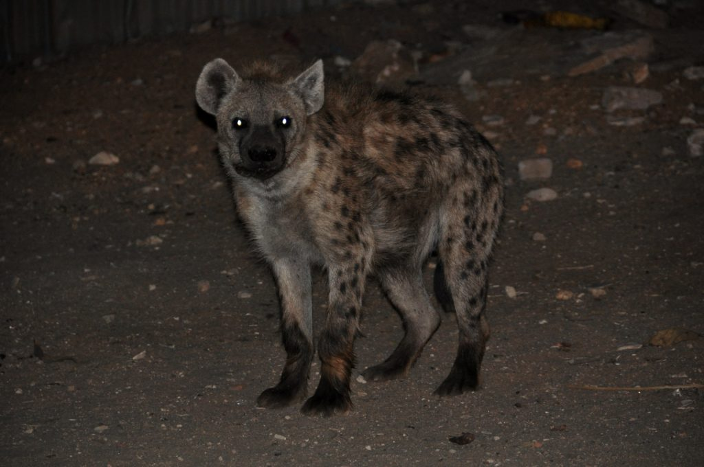 Hyena in Harar