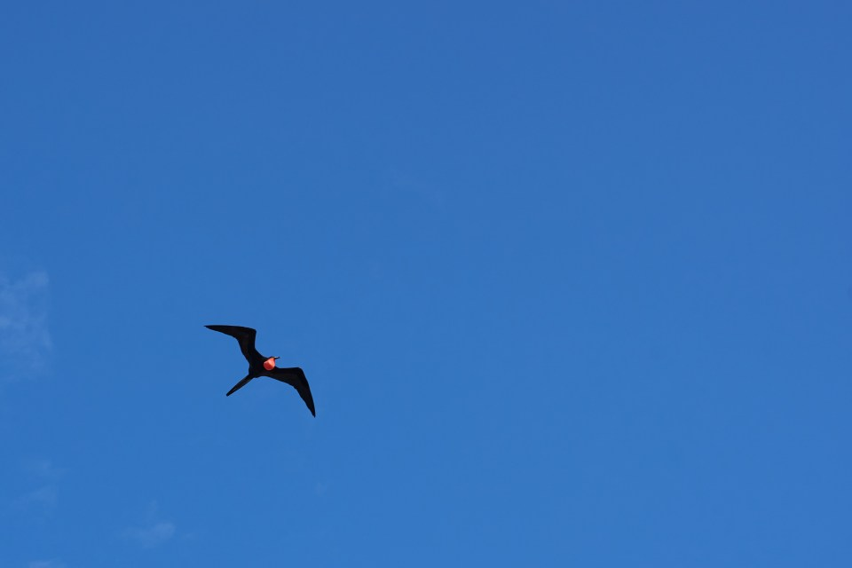 Male frigate bird with inflated red pouch