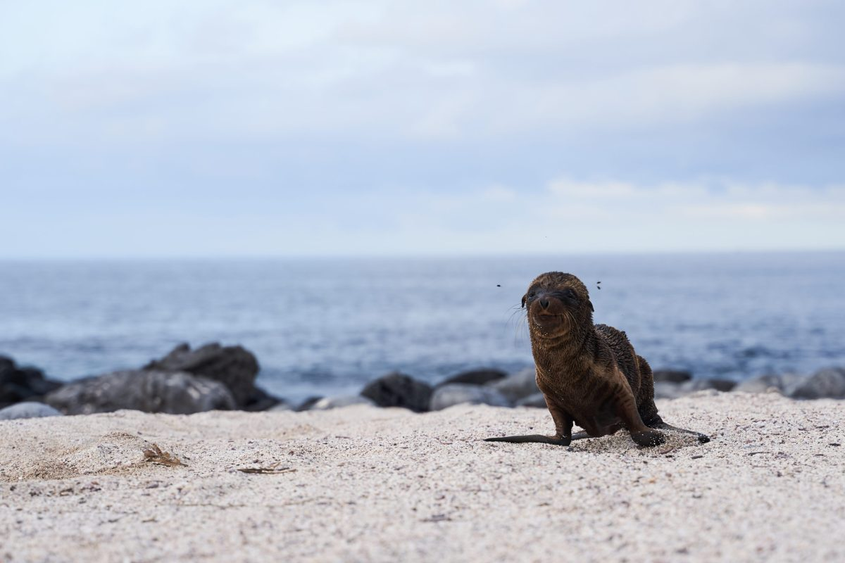 Sea lion baby steps