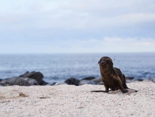 Sea lion baby steps