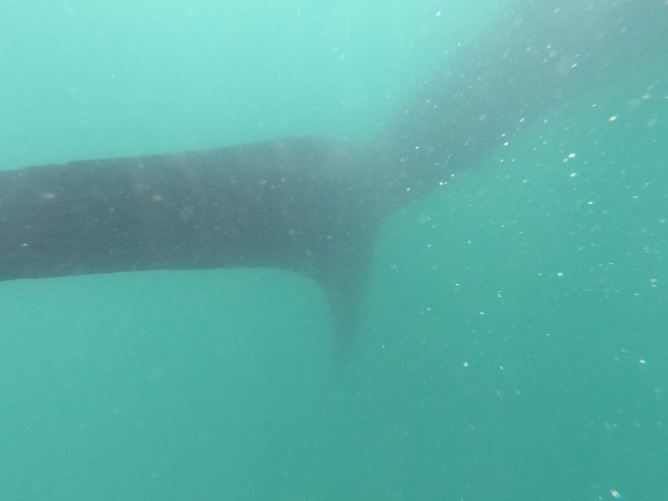 Donsol whale shark swimming