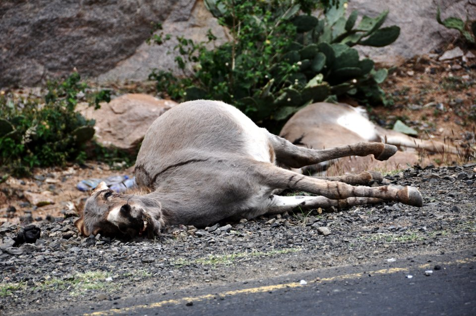Dead donkeys on our way to Babile camel market