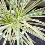 ドラセナの管理|育て方や特徴、増やし方、水やり、失敗しないコツをご紹介【oyageeの植物観察日記】
