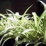オリヅルランの管理|育て方や特徴、増やし方、水やり、失敗しないコツをご紹介【oyageeの植物観察日記】