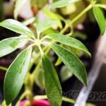 シェフレラ(カポック)の管理|育て方や特徴、増やし方、水やり、失敗しないコツをご紹介【oyageeの植物観察日記】