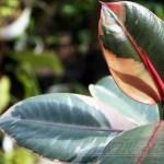 ゴムの木の管理|育て方や特徴、増やし方、水やり、失敗しないコツをご紹介【oyageeの植物観察日記】