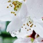 花散らしの雨の中、桜の決定的瞬間を激写!【奇跡の1枚の写真】