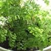 アジアンタムの管理|育て方や特徴、増やし方、水やり、失敗しないコツをご紹介【oyageeの植物観察日記】