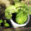 水はけの悪いシンゴニウム親子を株分けで植替え【oyageeの植物観察日記】