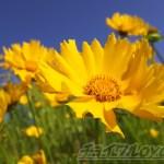 きれいな花が咲き乱れています。けど、特定外来生物で実は厄介者?【oyageeの植物観察日記】