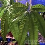パキラの葉が突然巨大化!大きくなりすぎる原因は?日照不足?肥料?それとも…?【oyageeの植物観察日記】
