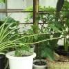 オリヅルラン・子株飛行隊が低空飛行中…【oyageeの植物観察日記】