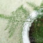 BLOG初登場!アスパラガスの品種「プルモーサス・ナナス」の植替えと株分けを実践。【oyageeの植物観察日記】