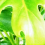 「モスラが来ます!」…モスラが大事なクッカバラを狙いにやって来た !!【oyageeの植物観察日記】