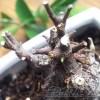 ガジュマルの新芽が出る枝と、出ない枝の「差」は?【oyageeの植物観察日記】