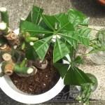 パキラの増やし方|編み込みパキラを剪定し、枝は挿し木へ…(今回は水挿しで)【oyageeの植物観察日記】