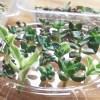 食品トレイを再利用して、多肉植物を大量生産!【oyageeの植物観察日記】
