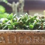 多肉植物のBOX型寄せ植えのその後|只今、徒長気味… 「太陽光線クラッ!」っとするぐらいの日差しが恋しいよぉ!【oyageeの植物観察日記】