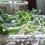 茎挿しする多肉植物のとっておきの秘密兵器とは? なんと、あのキッチン用品?【oyageeの植物観察日記】