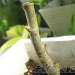 ウンベラータ を土植えシータ! ─将来はオシャレなウンベラータになってもらいましょ!─【oyageeの植物観察日記】