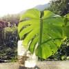 モンステラの増やし方|暑い今の時期がモンステラの繁殖季節です! 挿し木でほぼ100%根が出ます!【oyageeの植物観察日記】