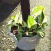 ポトスのヘゴ仕立て・調子こいて第2弾!|マーブルクイーンをヘゴ支柱に這わせて、立体的に育ててみよう!【oyageeの植物観察日記】