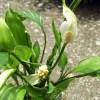 スパティフィラムの見てはいけない、見せてはいけない、何とも言い難い、とても恥ずかしい写真【oyageeの植物観察日記】