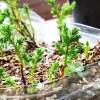 挿し木から3か月経ったゴールドクレストに動きが !? これって、根? 違うよね、根? やっぱり、ネ…【oyageeの植物観察日記】