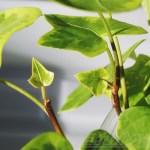 """必殺仕立て人[第6話]─ """"くたっとアイビー""""も植物の常識を覆す事件が! これも芽が先? 今日だけ「必殺仕分人」に変身!の巻 ─【oyageeの植物観察日記】"""
