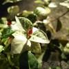 初雪カズラって、こんな風な植え方もあるんだ? oyageeの初雪カズラは、未だに行く先決まらず…【oyageeの植物観察日記】