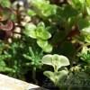 処分品ケースに追いやられてたマンネングサ、ベンケイソウ、セダム属、その他諸々の寄せ植え鉢を激安で購入。秋の復活大作戦、スタート!【oyageeの植物観察日記】
