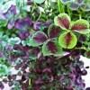 かわいい葉は乙女チック、色はムーディーな大人チック、性格は狂気的で暴れん坊? ついにクローバー3種の植え替えです。【oyageeの植物観察日記】