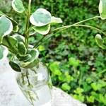 家の植物だって十分観葉植物になっちゃうゾ SPECIAL !|おや?ブロックの割れ目から生えてるコレはホヤ? これ、日日草なんだって !?【oyageeの植物観察日記】