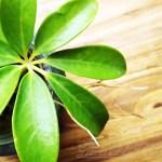 芸術の秋… 鉢から飛び出たシェフレラの「根」も、立派な芸術作品だ!?【oyageeの植物観察日記】