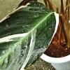 定価の割引後の半額のさらに割引で購入した得体のしれない植物は、指先が紫色に! 服にシミが! これってデンジャラス植物?【oyageeの植物観察日記】