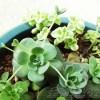 今、子持ちレンゲの観察にどっぷりハマリ中… 「只今、ここまで生長してます!」【oyageeの植物観察日記】
